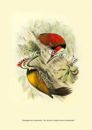 BRACHYPTERNUS PUNCTICOLLIS - THE SOUTHERN GOLDEN-BACKED WOODPECKER